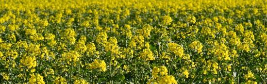 oilseed-rape-1325798