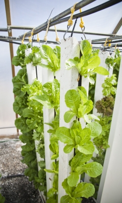 Lettuce being grown vertically with hydroponics